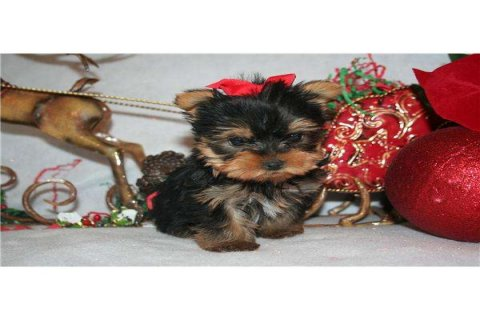 صور Excellent Teacup Yorkie Puppies For Adoption 1