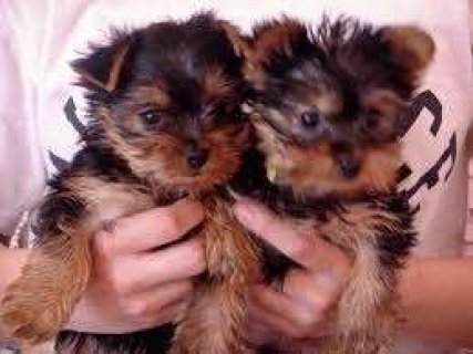 Yorkie puppies for re homing