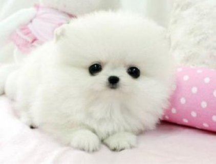 Lovely Male and Female Tiny Teacup Pomeranian Puppies For Ado