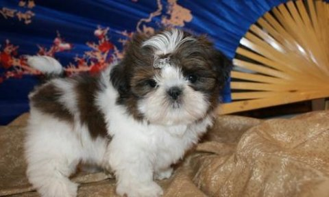 صور Shih Tzu puppies for Adoption 1
