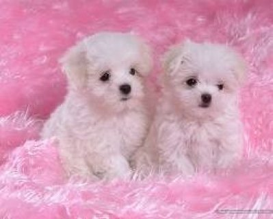 Male and Female T-Cup Maltese Puppies