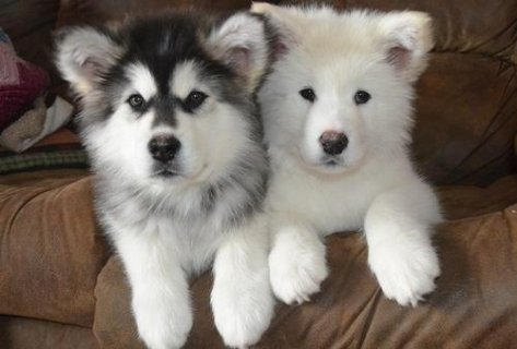 Adorable Male and Female Alaskan Malamute puppies ready