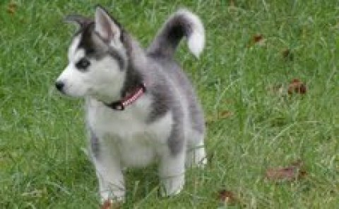صور Male and Female Siberian Husky puppies 1