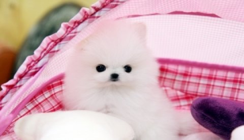 صور Adorable Pomeranian puppies available for adoption 1