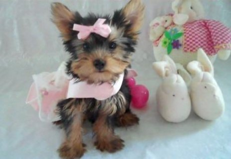 صور Male and female teacup Yorkie puppies available 1