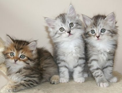 صور male amd female Siberian Kittens Available 1