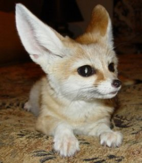 12 weeks old fennec foxes for sale