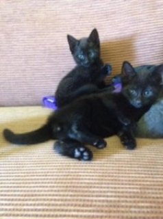 صور Russian Black Kittens Rare 1