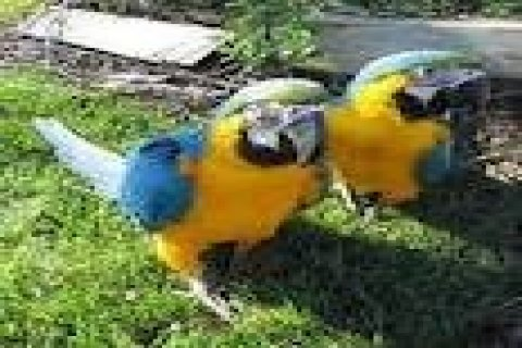 Baby Blue And Gold Macaws For Sale