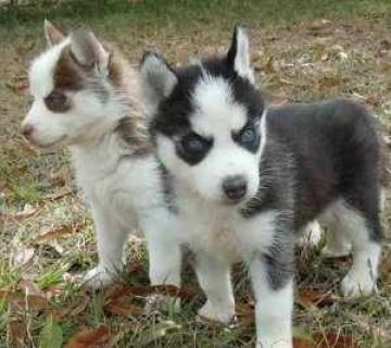 male and female siberian huski puppiesfor your homes