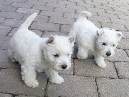 West Haighland Terrier Puppies for sale.West Haighland Terrier P