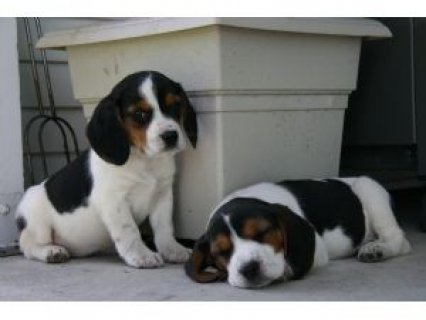 صور  male and female Beagle Puppies For Sale 1