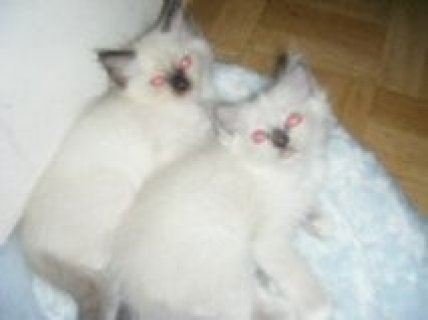 صور Ragdoll Kittens  Awesome Male and female 1