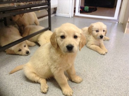 Male & Female Golden Retriever puppies-