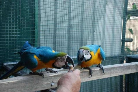 صور  Healthy, trained and tame parrots ready to go to their new home 1