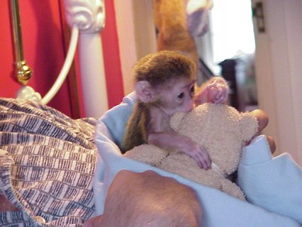 صور Wonderful Lovely Capuchin monkey for adoption   We now have two  1