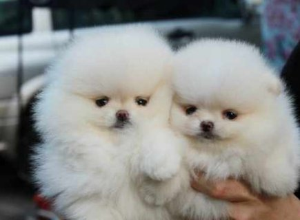 صور #9733; Cute Pomeranian Puppies Available For Adoption 1