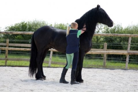 صور black male and female Well trained Freisian Horses for adoption  1