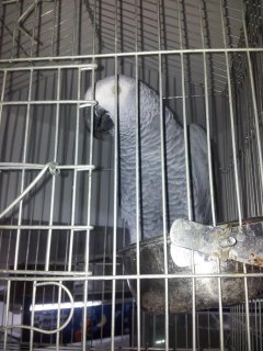 صور lovely African Grey parrots for adoptio 1