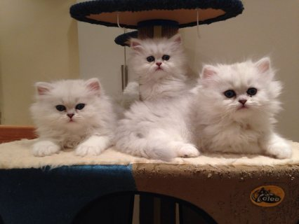 صور lovely  male and female persian kittens for Adoption 1