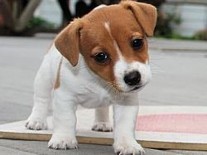Beautiful Jack Russell Puppies for Adoption