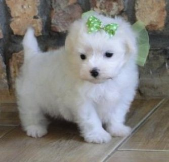 صور Champion teacup Maltese  puppies males and females for sale. 2