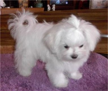 صور Champion teacup Maltese  puppies males and females for sale. 3