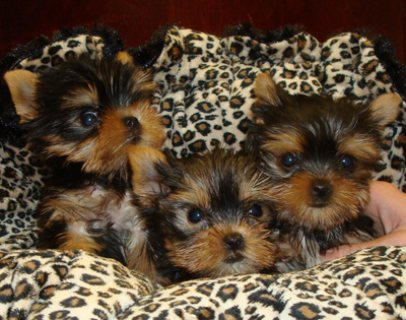 yorkie puppies males and females for sale