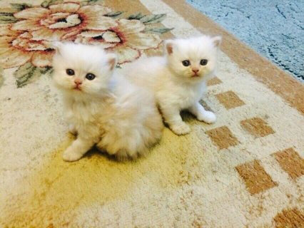 Beautiful white male / female Persian KIttens