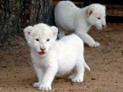 Healthy white lion available for Sale.