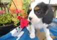 Excellent Cavalier King Charles Spaniel puppy for adoption