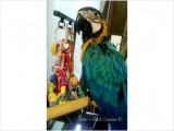 Baby Blue & Gold Macaw