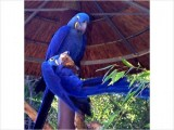 Hyacinth Macaw11