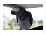 Outstanding African Grey Parrot 2