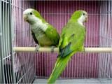 Quaker (Monk) Parrot (Parakeet)1