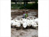 Swans SWANS White Mute SWans and Australian Black SWANS 2