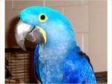 Blue Hyacinth Macawd