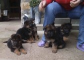 Adorable and registered german shepherd  puppies