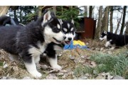 siberian husky  Puppies for good and caring homes