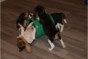 Male And Female Pure Breed Beagle Puppies for adoption