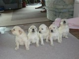 male and female AKC Golden Retriever Puppies