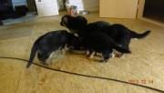 Gorgeous 10week old german shepherd puppies