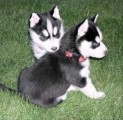 German shepherd Puppies ready to move into a new home