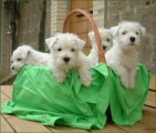 West Highland White Terrier Puppies looking for forever loving h