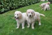 excellent Labrador  puppies for rehoming