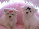 Black Nose Maltese Puppies for Adoption
