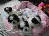 Teacup Shih Tzu Puppies For Adoption