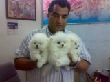 AKC Registered Pomeranian Puppies for good and caring homes