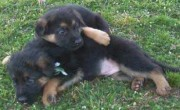 We offer lovely male and female German Shepherd Dog puppies For