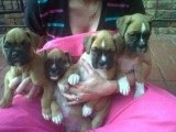 Nice Looking Boxer Puppies For Adoption